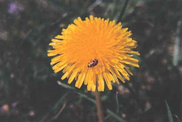 Dandelionandladybugg